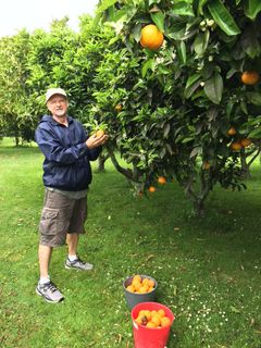 Picking Oranges for Fresh Juice